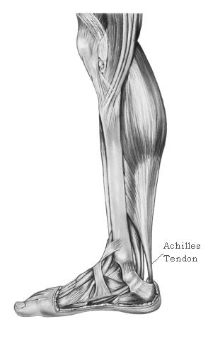 Achilles tendon drawing