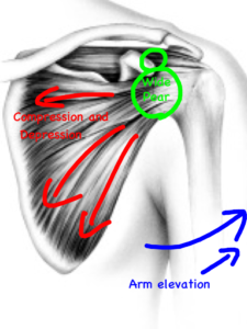 Compression and Depression of the bone into the bottom portion of the pear to avoid impingement of the shoulder during arm movement...