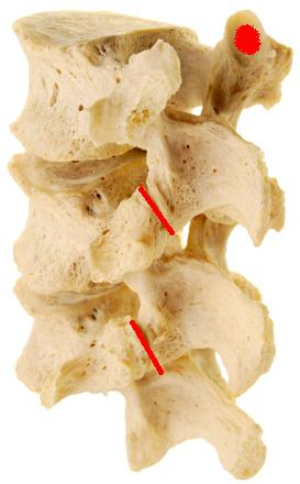 the human facet joint