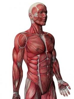 muscular strucutre