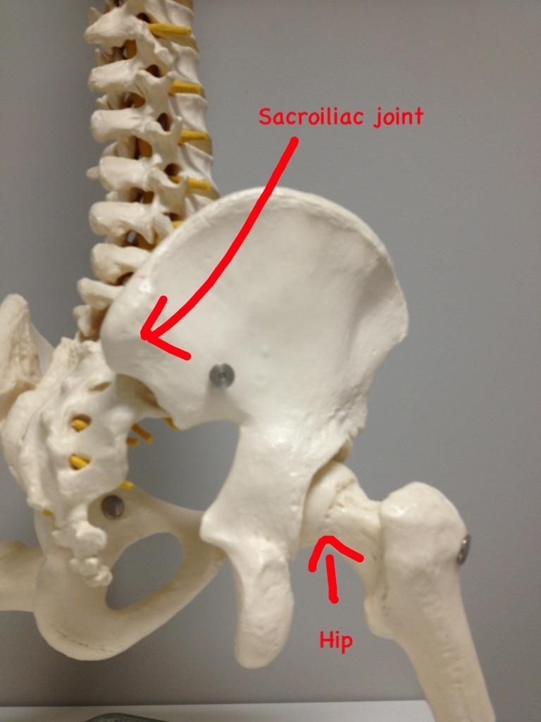 Sacroiliac joint on a skeleton